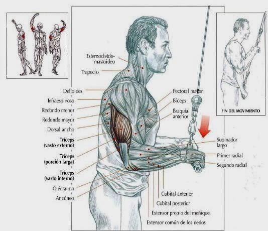 Triceps mancuernas trabajar con