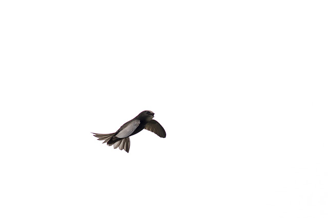 Common Swift screeching