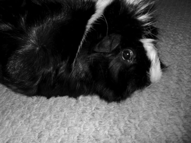 Black and White #Guineapig sitting on floor looking at you