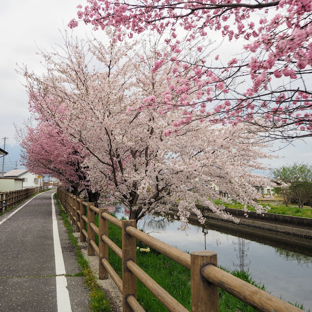 あづみ野やまびこ自転車道 拾ヶ堰 桜