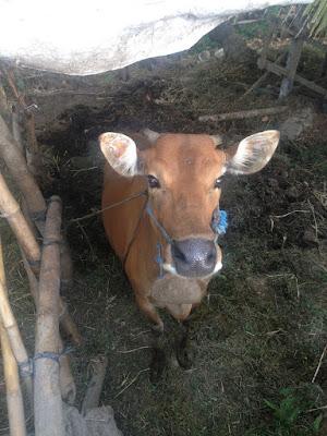 aide leit-lepmets indoneesia inspiratsioon riisipõld riisipõllud lehm