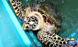 konservasi penyu pulau pramuka