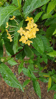 flowers, fresh flowers, garden, malaysia, only yellow flower, yellow collection, yellow flower bouquet, yellow flower garden, yellow flowers collection,