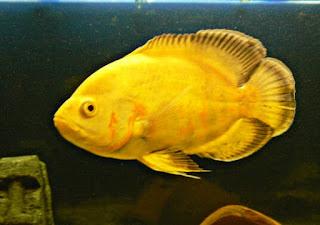 Jenis Ikan Oscar dan Harganya, Oscar Lemon