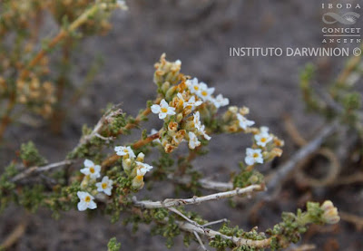 flora de san luis tomillo de campo