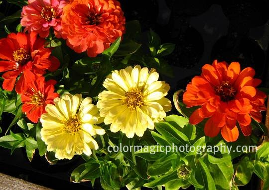 Bright red and yellow zinnia flowers