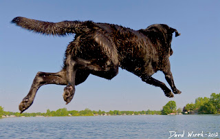 dog leaping off shore into lake to catch ball