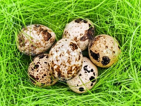 Bir Yumurtadan Dafa Fazlası; Bıldırcın Yumurtası!