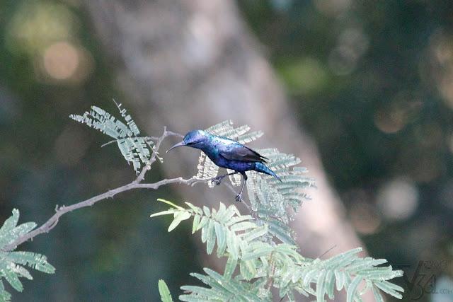 Purple sunbird male (10 cm) - Mysuru