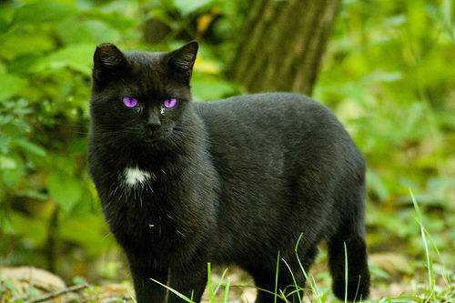 Purple And Black Shadow Cat
