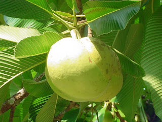 Elephant Apple Fruit Pictures