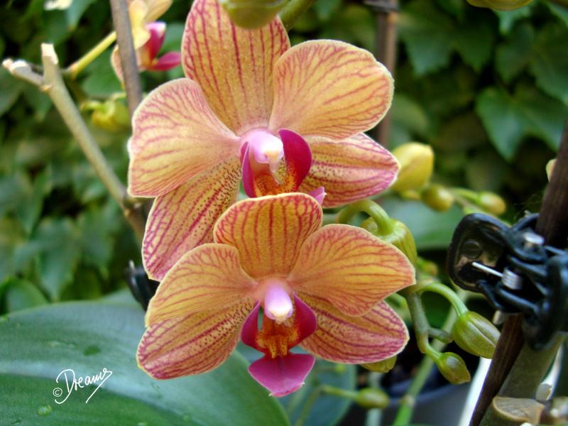 dreams art meine geliebten orchideen. Black Bedroom Furniture Sets. Home Design Ideas