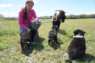 Australian Shepherd puppies and a goat