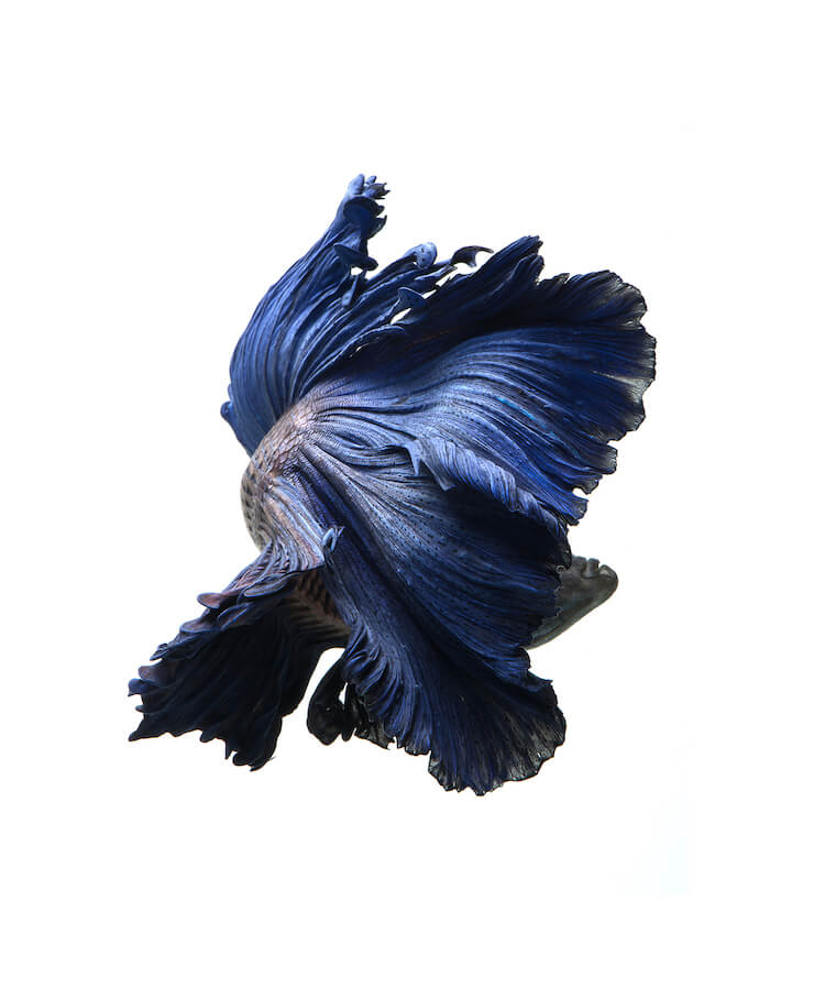 Breathtaking Siamese Fighting Fish Portraits Resemble Colorful Clouds of Ink in Water