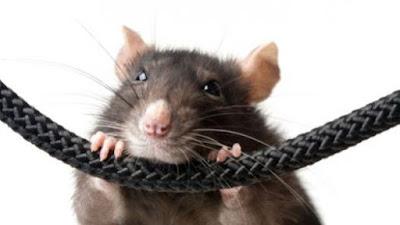 Las ratas no soportan la altura