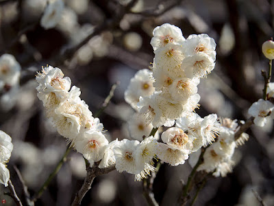 White ume blossoms: Engaku-ji