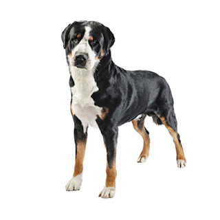 Everything about your Greater Swiss Mountain Dog