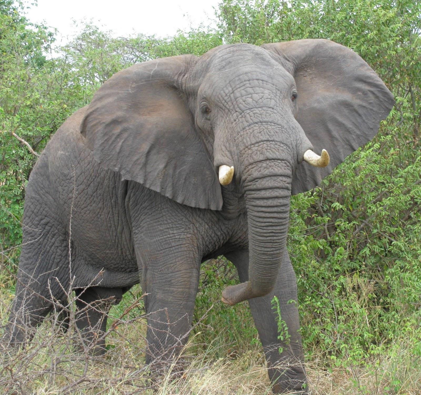 The Elephant Innocent Animal Animals Lover