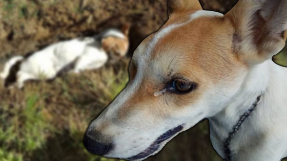 Demi Menyelamatkan Tuannya, Anjing Ini Sanggup Menggadai Nyawanya