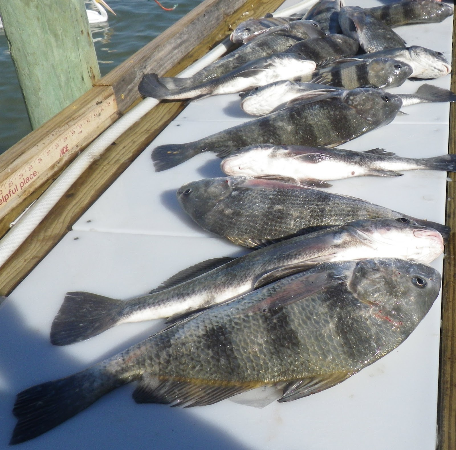 Doing it on the road part ii black drum for Drum fish recipes