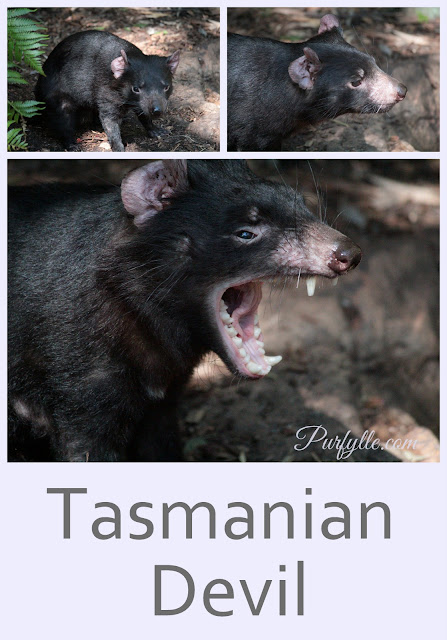 Tasmanian Devil's seen at Perth Zoo's Australian Bushwalk