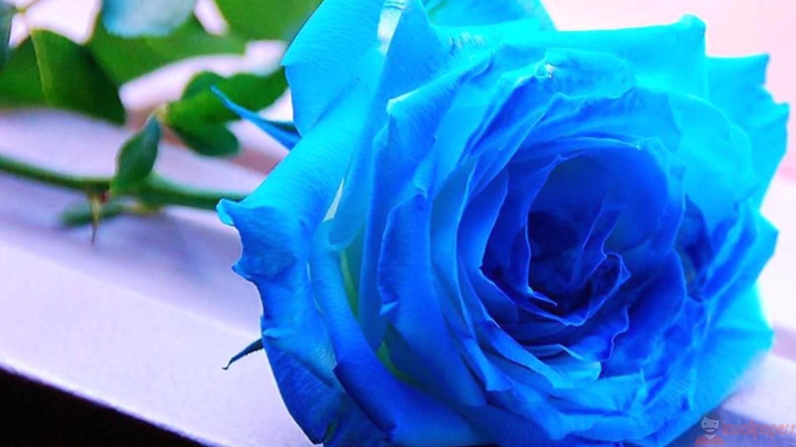 Hình ảnh hoa hồng chất lượng cao - izwallpapers