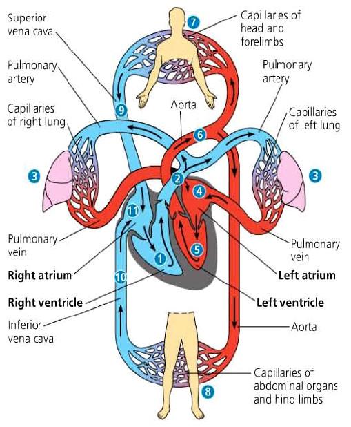Peredaran Darah Ganda Dan Jantung