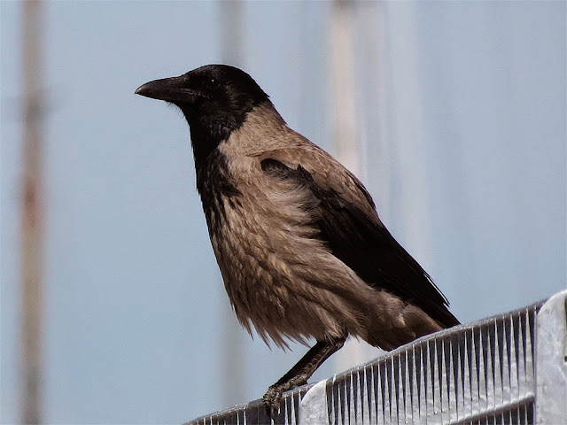 Hooded crow, port of Livorno