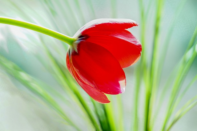 hoa tulip hồng, tím đẹp nhất 4