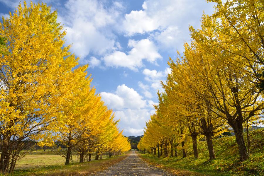 宝達志水町 東野のイチョウ並木道