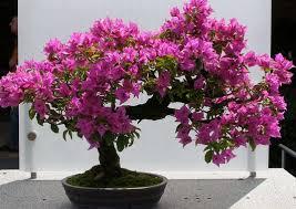 http://tipspetani.blogspot.com/2017/10/cara-merawat-tanaman-bunga-kertas-agar.html