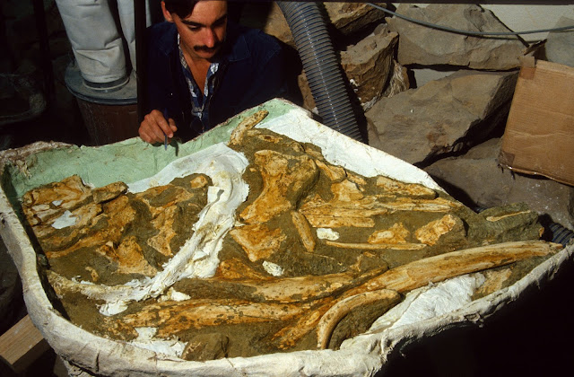New species of ancient whale identified and named by Otago palaeontologists
