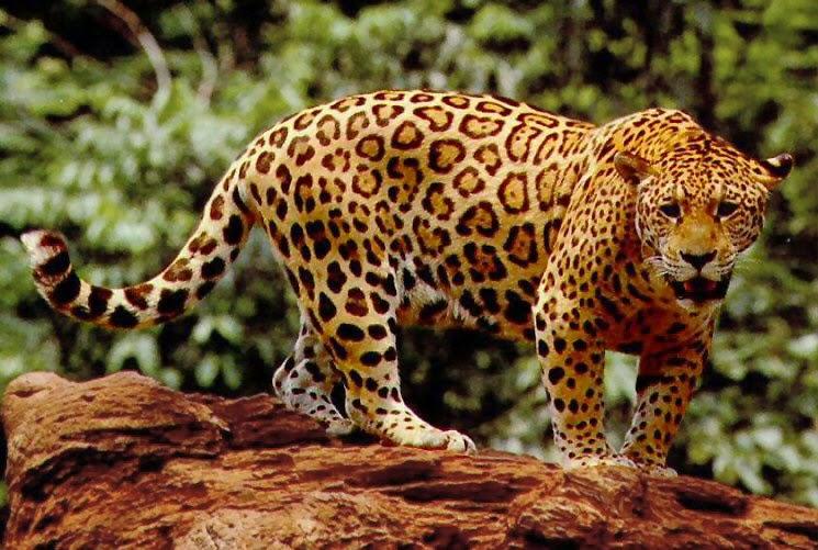 jaguar-01