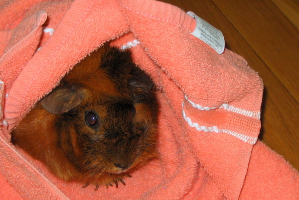 How to care for your guinea pig