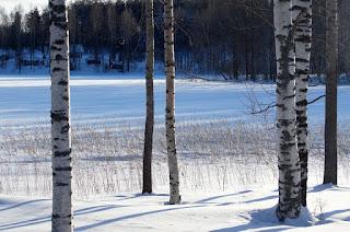 Florestas de bétulas
