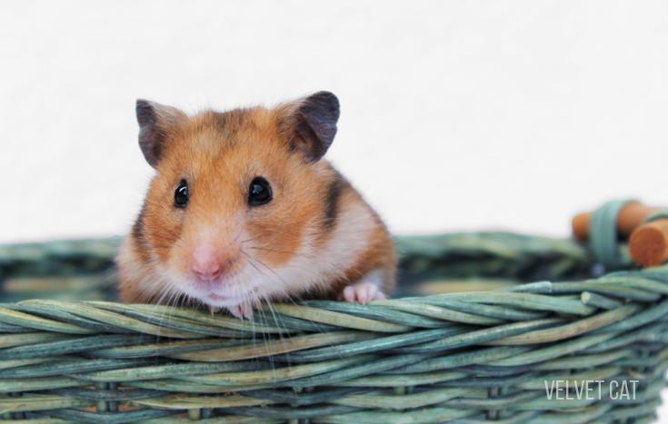 doña bigotes hamster comun noah