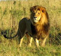Lion at Botlierskop