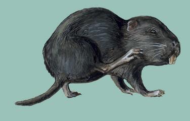 Coruro Spalacopus cyanus