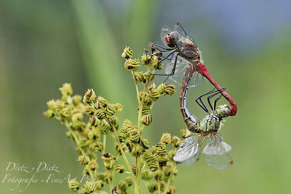 Blutrote Heidelibellen (Sympetrum sanguineum)