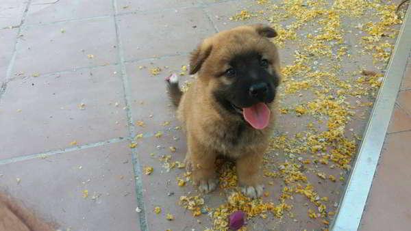 cachorro cruce chow chow