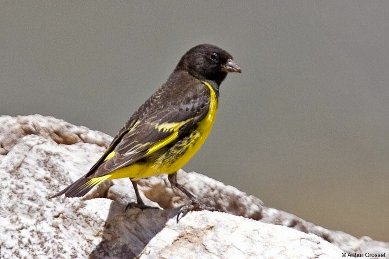 Yellow rumped Siskin