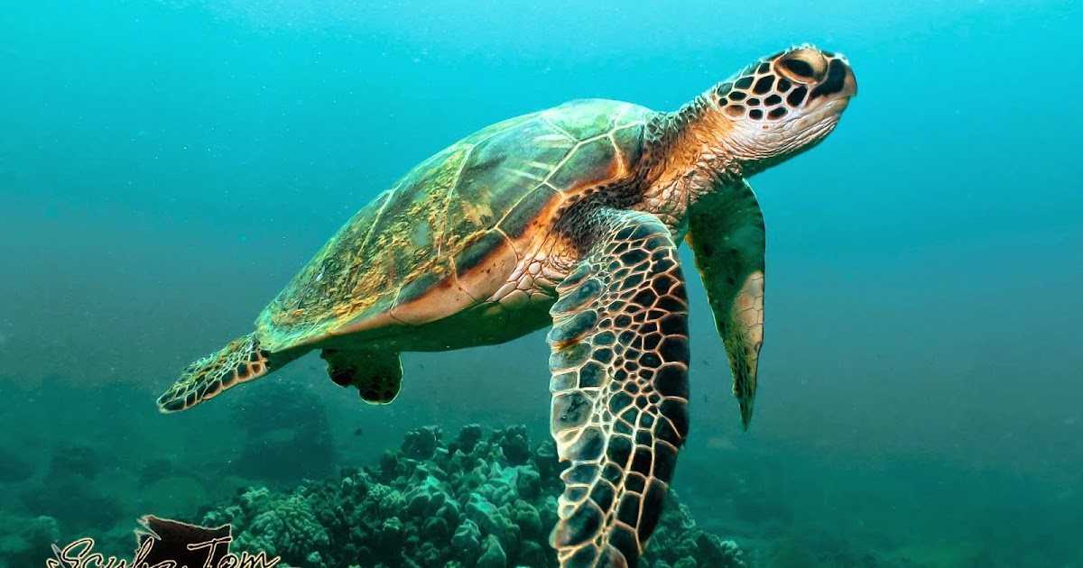 Leatherback sea turtle pictures in the water - photo#52