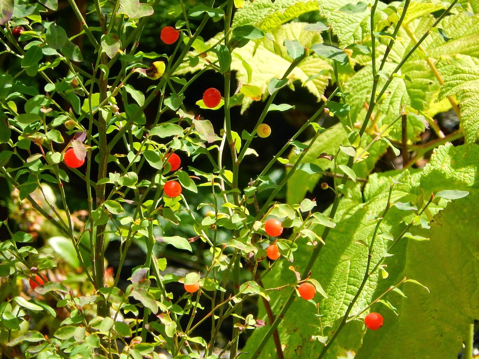 Powell River Books Blog Coastal Bc Plants Red Huckleberry