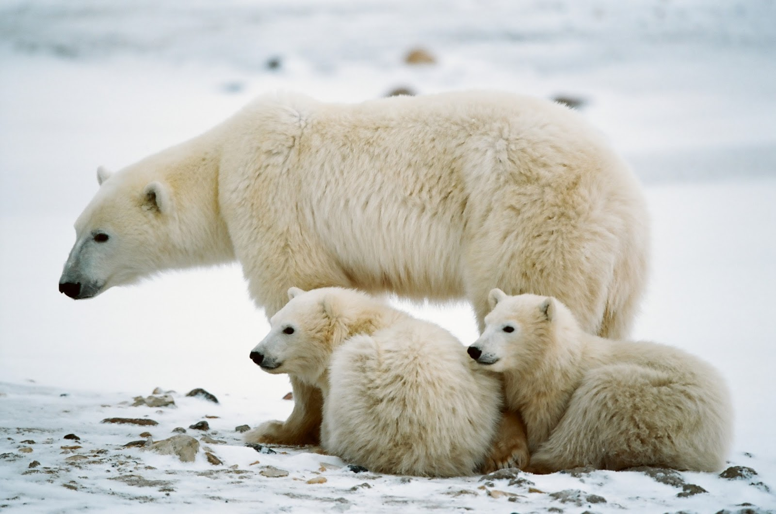 All About Animal Wildlife Polar Bear Facts And Images
