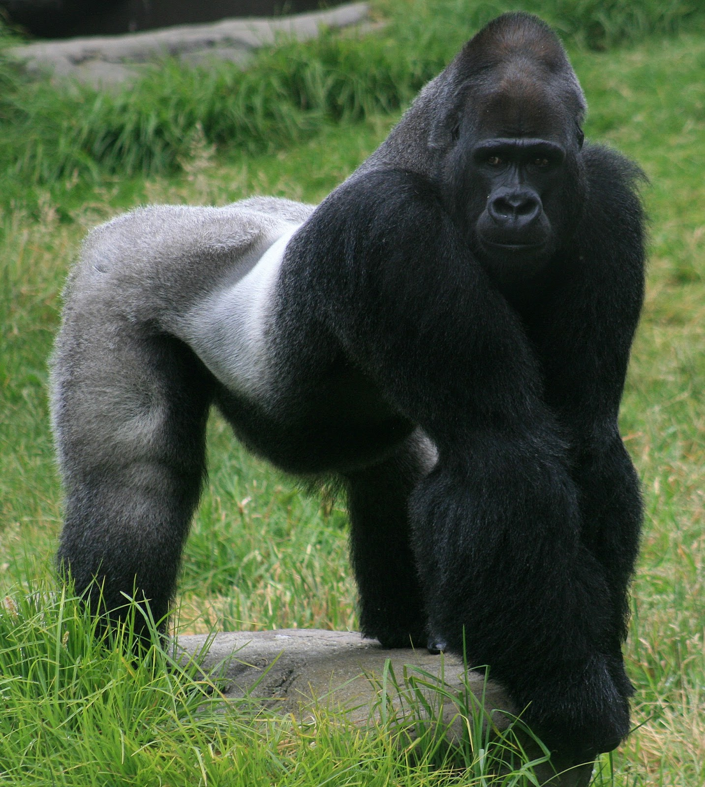 Gorillas Interesting Facts And Pictures | All Wildlife ...