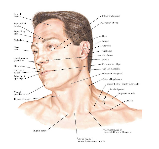 Head and Neck: Surface Anatomy
