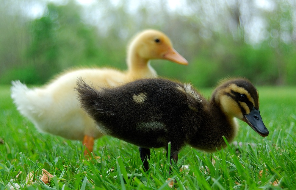 Yellow ducklings breed - photo#50