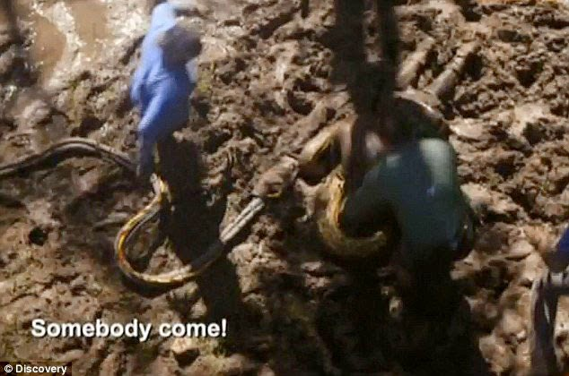 Eaten Alive by Anaconda Snake TV Stunt by Discovery Channel Photos and Video
