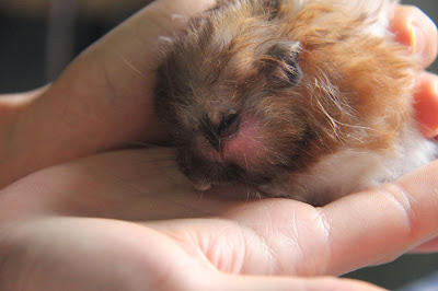Soft Abscess on Mouth - Ailments & Injuries - Hamster