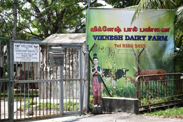 The two-year-old black and white bull Ganesha escaped its pen at Viknesh Dairy Farm on Tuesday.